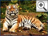Zoo Leipzig - Sibirsche Tiger